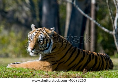 Bengal Tiger Relaxing - stock photo
