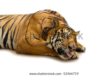 bengal tiger sleepy in white isolated background - stock photo