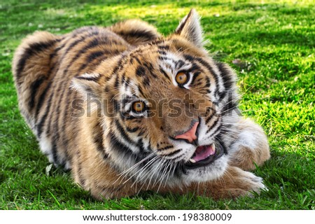 Bengal Tiger - smiling at camera  - Big Cat - Young male Tiger relaxed and showing his youthful, playful nature. - stock photo