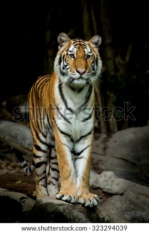 Bengal Tiger stand up and looking forward to something. - stock photo