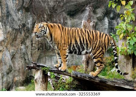 Bengal tiger standing timber - stock photo