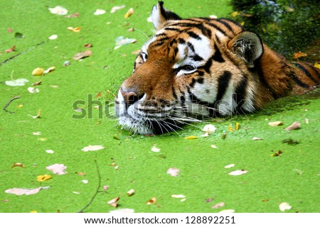 Bengal Tiger swimming in water - stock photo