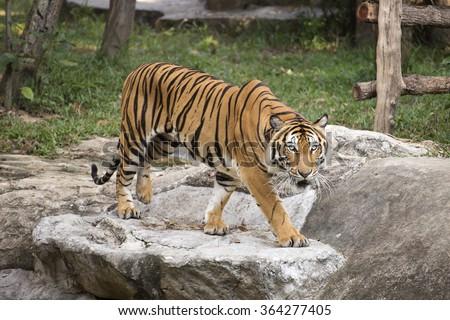 Bengal Tiger walking and looking something - stock photo
