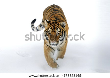 Bengal Tiger walking through snow - Isolated white background - stock photo