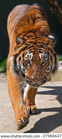 Bengal Tiger walking toward me - stock photo
