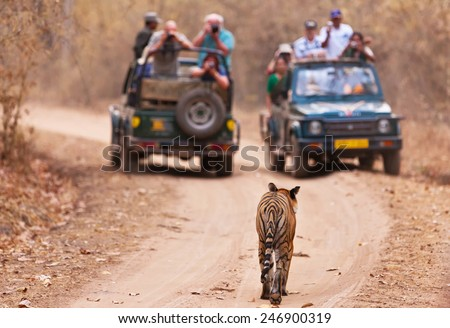 Bengal tiger walking towards 2 jeeps full of tourists in Bandhavgarh National Park, India - stock photo
