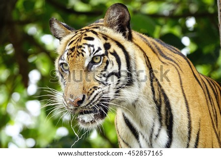 bengal tiger with blurry forest background,select focus with shallow depth of field. - stock photo