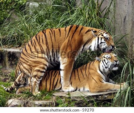 Bengal Tigers Copulating at San Francisco Zoo - stock photo