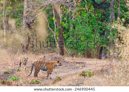 Bengal tigers in Bandhavgarh National Park, India - stock photo