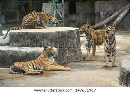Bengal tigers  in the zoo  - stock photo