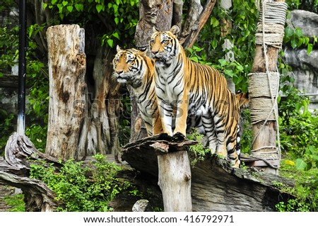 Bengal tigers standing timber at Songkla zoo, Thailand - stock photo