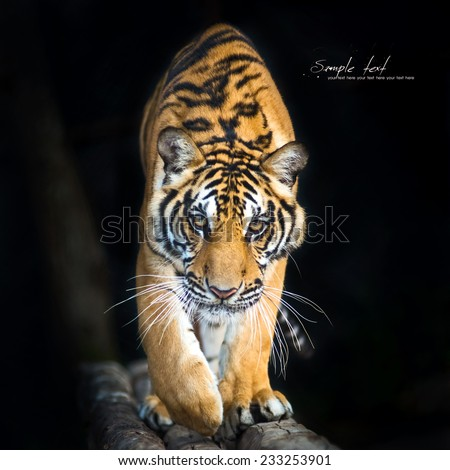 Bengal tigers walk on the timber and  black background