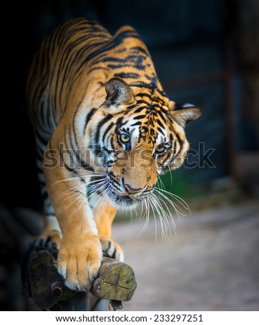 Bengal tigers walk on the timber and  black background - stock photo