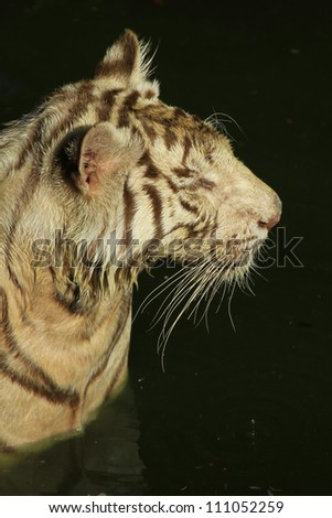 Bengal white Tiger - stock photo
