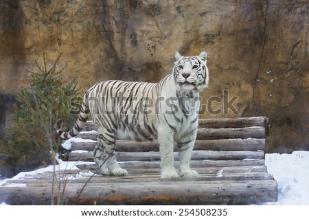 Bengal white tiger Bengal tiger is a rare and endangered species tiger, included in the Red book of the International Union for conservation of Nature . He lives in Northern and Central India. - stock photo
