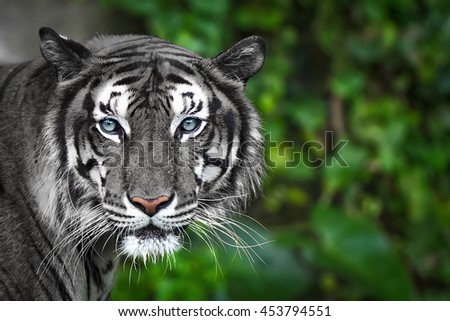 Bengal White tiger in forest show head faces fierce.   - stock photo