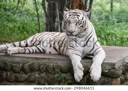 Bengal White Tiger lying down with green eyes closed in a national park in Karnataka India. Adventure safari trip through dense forest path with wild animals. copy space - stock photo