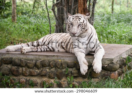 Bengal white Tiger lying down with green eyes staring in a national park in Karnataka India. Adventure safari trip through dense forest path with wild animals. copy space, albino endangered species - stock photo