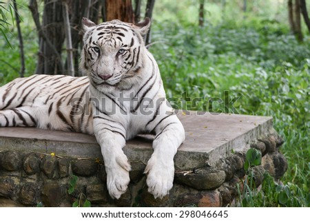 Bengal white Tiger lying down with green eyes staring in a national park in Karnataka India. Adventure safari trip through dense forest path with wild animals. - stock photo