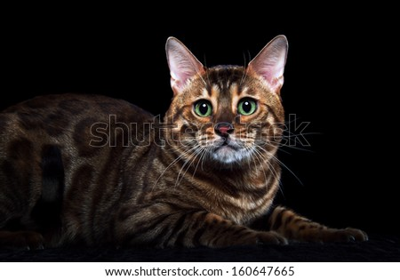 Bengalensis cat is isolated on a black background. - stock photo