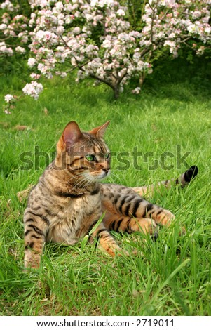 Bengali special breed cat sitting on the grass with apple blossom out of focus to the rear.