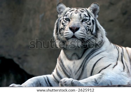 bengali tiger in zoo