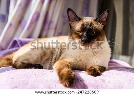 Beni cat sunning on the balcony (blinked) - stock photo