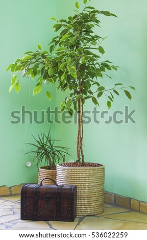 Benjamin ficus, dracaena and chest in living room at window with sunlight. Home design, interior and decoration.
