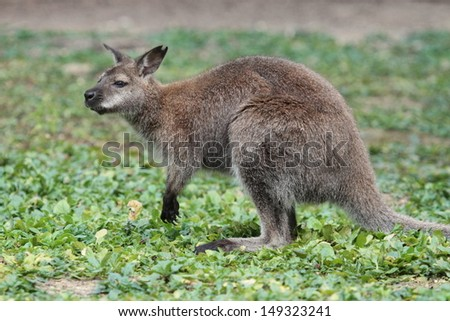 Bennett wallaby (macropus rufogriseus) with red neck standing on the green grass - stock photo