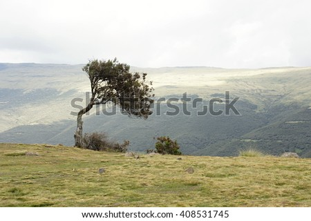 Bent tree in Geech camp, Simien mountains, Ethiopia - stock photo