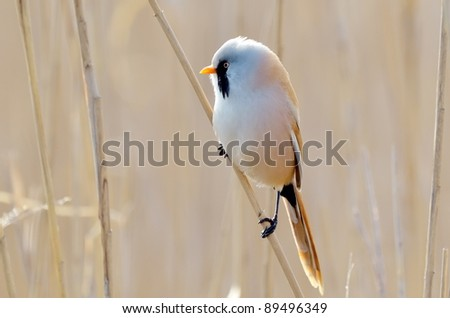 beraded tit, male - reedling (panurus biarmicus) - stock photo
