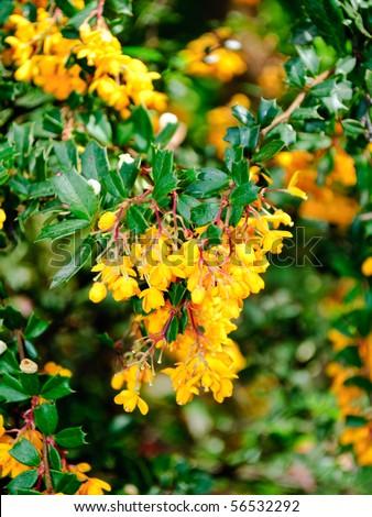 Berberis. Barberries or pepperidge bushes. Blooming barberry. - stock photo