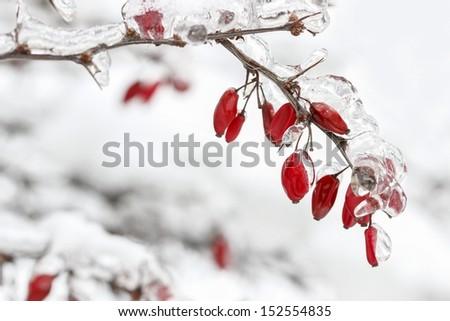 Berberis branch under heavy snow and ice. Selective focus - stock photo