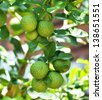 Bergamot on Tree - stock photo