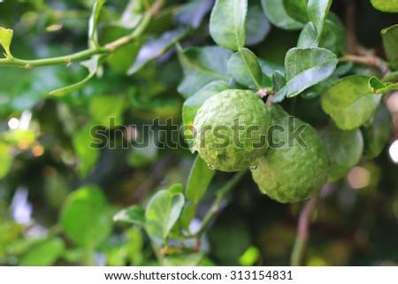 Bergamot on Tree - stock photo