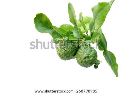 Bergamot tree with leaf isolate on white - stock photo