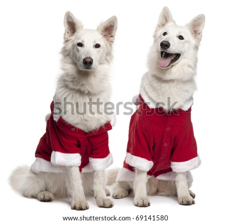 Berger Blanc Suisse dogs, or White Swiss Shepherd Dogs wearing Santa outfits sitting in front of white background - stock photo