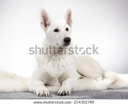 Berger Blanc Suisse portrait. Image taken in a studio. - stock photo