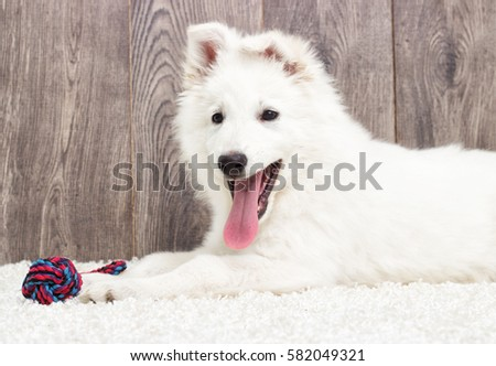 Berger Blanc Suisse Puppy Fluffy Carpet Stock Photo Royalty Free