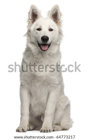 Berger Blanc Suisse puppy, 6 months old, sitting in front of white background - stock photo