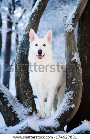 Berger Blanc Suisse Shepherd dog