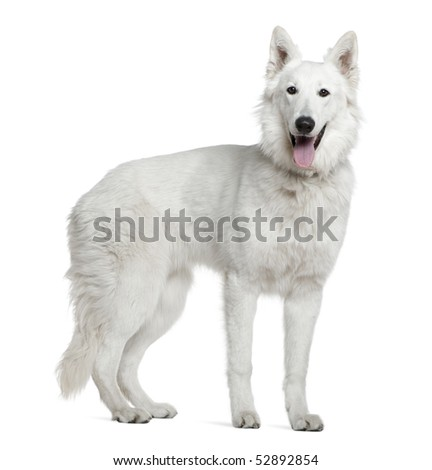 Berger blanc suisse, 1 year old, standing in front of white background