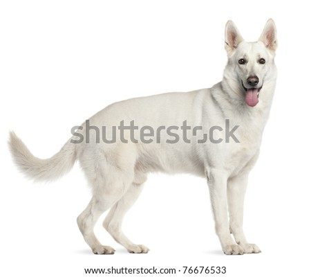 Berger Blanc Suisse, 4 years old, standing in front of white background - stock photo