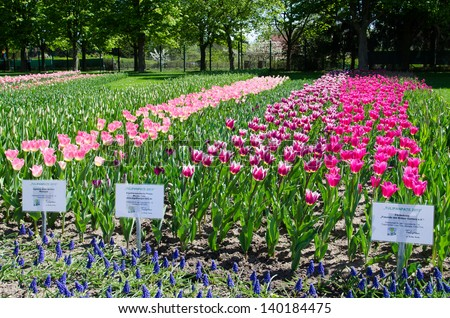 BERLIN, MAY 4: Tulips plantation at the Britzer Garten on May 4, 2013 in Berlin. The Britzer is one of the most important parks in Neukoelln and the blooming of the tulips calls thousands of visitors