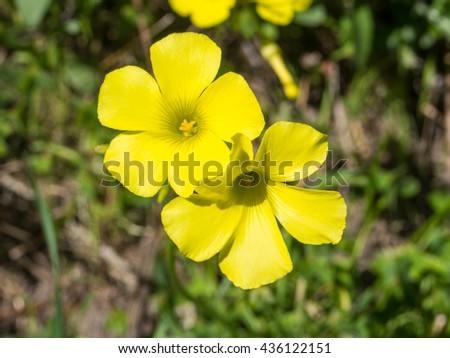 Bermuda buttercup (Oxalis pes-caprae) is a species of tristylous flowering plant in the wood sorrel family Oxalidaceae. - stock photo