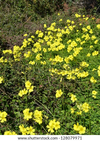 Bermuda Buttercups / Sorrel flowers in Crete - stock photo