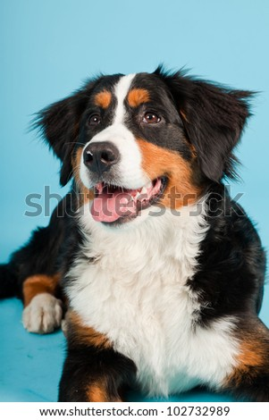 Berner sennen dog isolated on light blue background. Studio shot. Puppy.