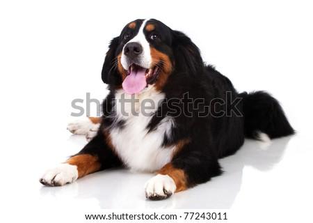 Berner Sennenhund dog isolated on white - stock photo