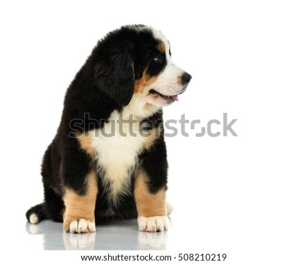 Berner Sennenhund or Bernese Mountain puppy sitting in studio looking at the corner isolated on a white background