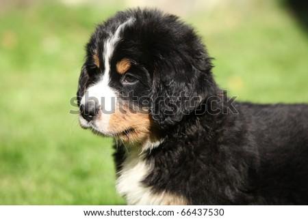 Berner Sennenhund puppy - stock photo